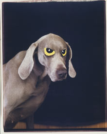 William Wegman Eye-On 1994 Color Polaroid Courtesy William Wegman